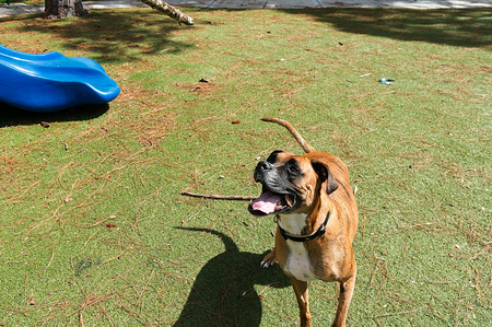 silly boxer dog enjoying the playground on a fall day
