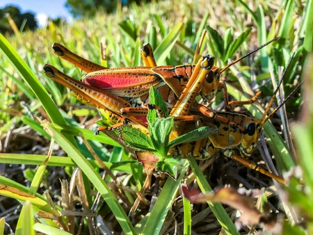orange crickets mating in the swamps