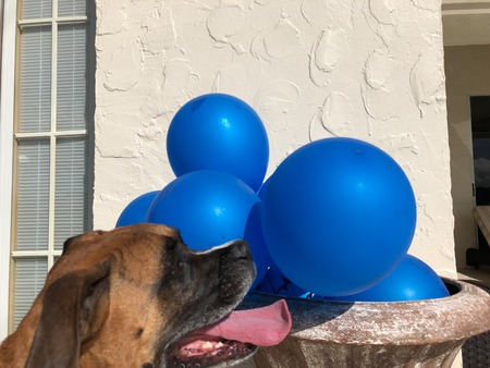 boxer dog plays with a balloon on the ground Banco de Imagens