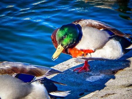 colorful ducks in Washington D.C. Stock Photo
