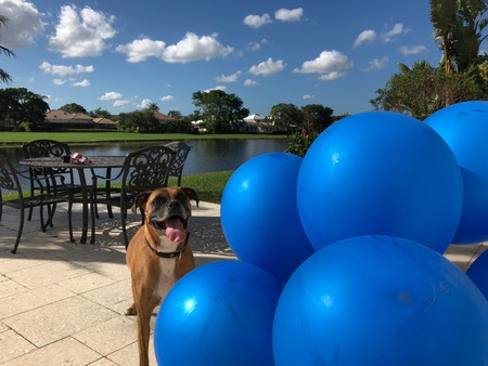 boxer dog plays with a balloon on the ground Stock Photo