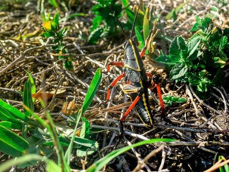 one big black grasshopper in the mulch