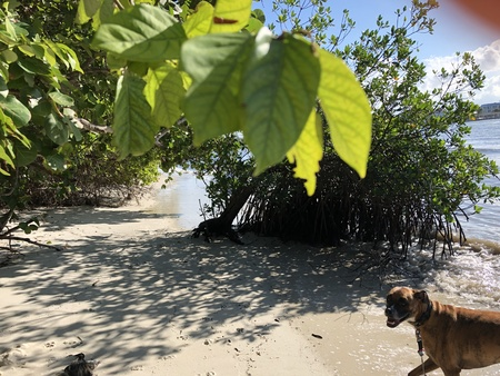 boxer dog playing on the beach under the trees