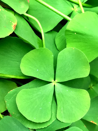 lose up on lucky four leaf clovers Stock Photo
