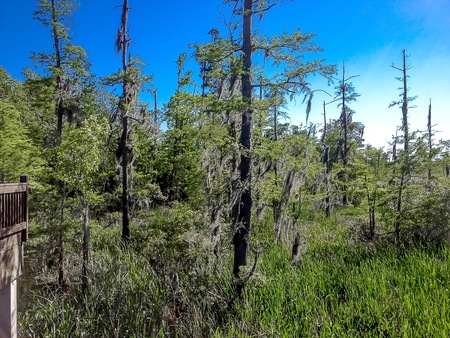 marsh land with cypress trees and a blue sky