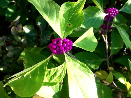 purple and pink berries in a beauty berry plant