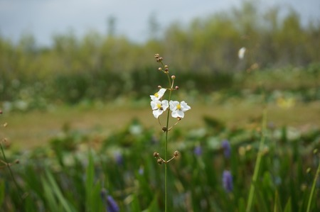 arrowhead flower (Sagittaria latifolia) in the Florida Everglades Imagens - 91356263