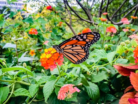 monarch butterfly on yellow and orange lantana flower covered in pollen Stock Photo