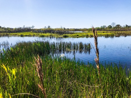 tall reeds and swamp lilies on the river shore Stock Photo