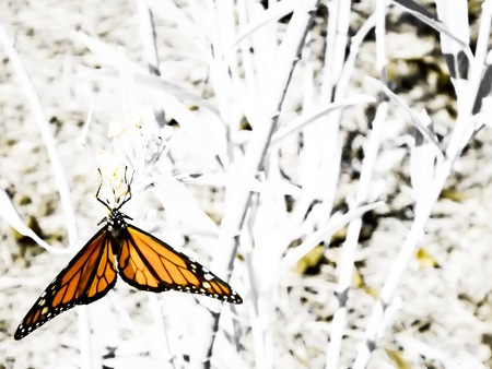 orange butterfly in black and white photograph Stock Photo
