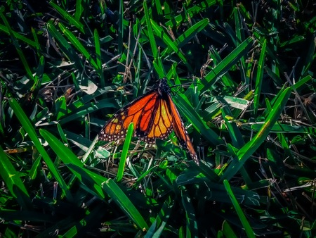 Monarch butterfly on a blade of grass Stock Photo
