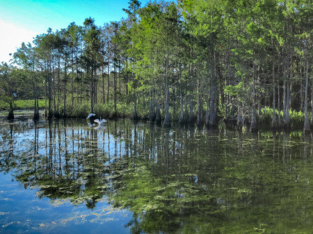 ibis and egrets in the swamp of Florida