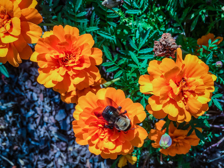 orange zinnia flower with bumble bee in Washington D.C.