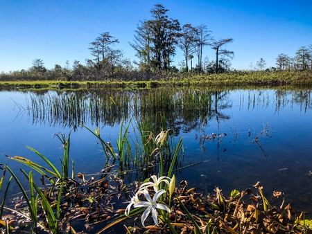 Swamp flowers and cypress trees on the shore of the river Stock Photo
