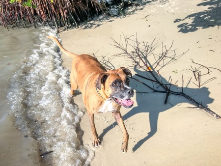 boxer dog on the sandy shore of the beach on an island