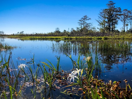 Swamp lilies and reflections of the trees in a river Stock Photo