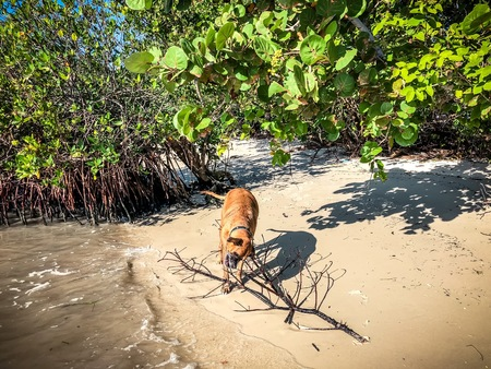 boxer dog fetches a stick in the ocean near mangroves