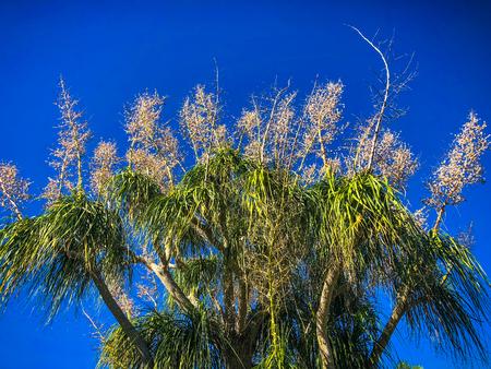 Fanned palm tree against blue sky background 版權商用圖片