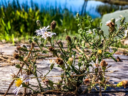 daisy flower growing through cracks of a wooden path