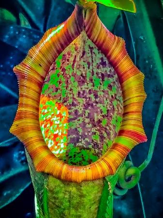 carnivorous Nepenthes Plant (tropical pitcher plants) Banque d'images