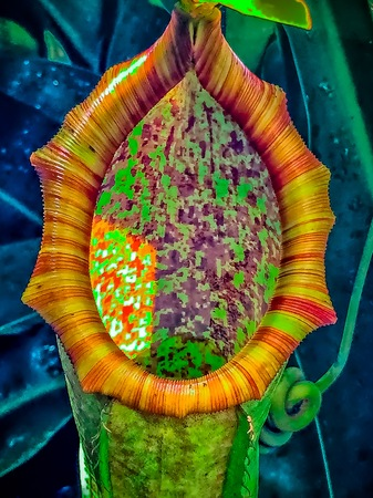 carnivorous Nepenthes Plant (tropical pitcher plants) Imagens