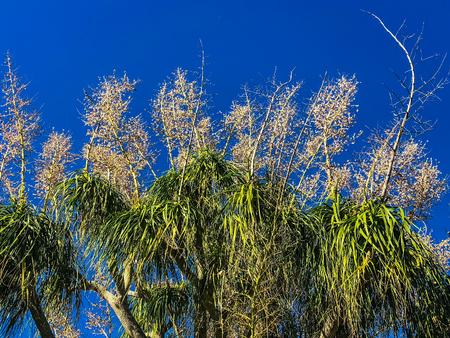 Fanned palm tree against blue sky background 版權商用圖片 - 92135554