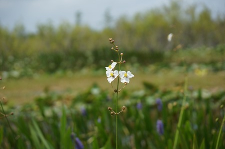 white swamp flowers and a bayou in Louisiana