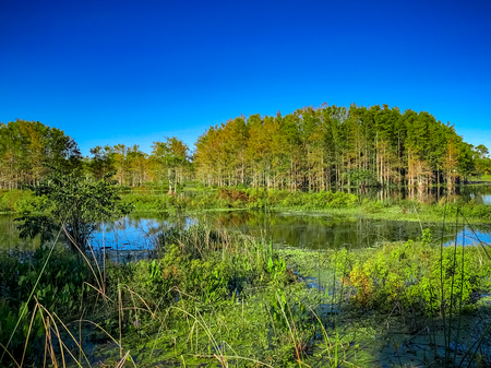 cypress trees and a duck pond in the marsh Stock Photo