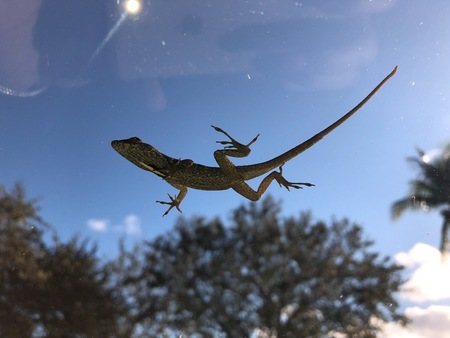 looking up at the belly of a lizard on the windshield Stock Photo