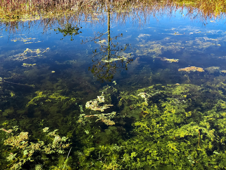 reflection of a cypress tree in a swamp pond with algae