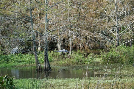 flying great blue heron (ardea herodias) in the swamps of Florida Stock Photo