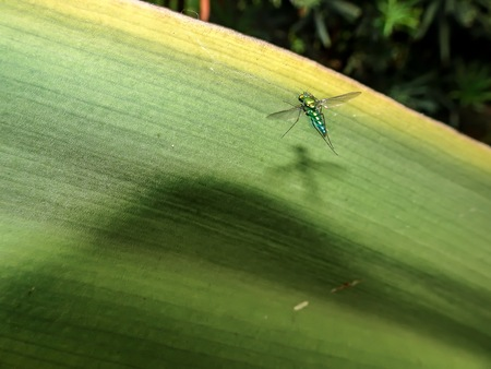 single metallic fly stands on a large green leaf