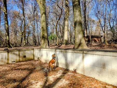 boxer dog explores the woods in winter