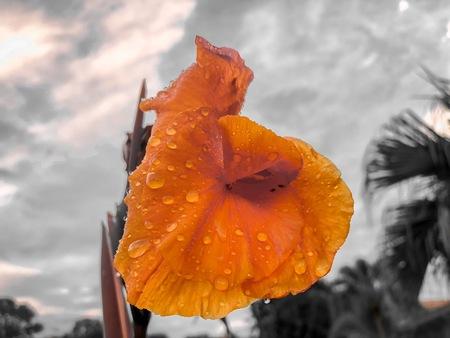 orange gladiolus flowers after a light rain