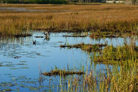 little blue heron and a duck in the swamp
