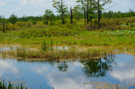cypress trees and pine trees reflecting in the bayou of a swamp