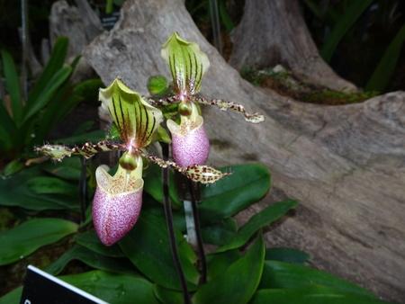 Lady Slipper Orchid - Paphiopedilum Victoria Regina