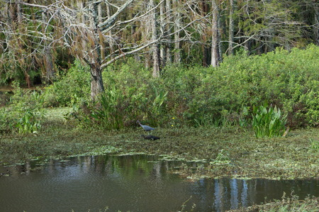 wading little blue herons in Florida cypress swamp Stock Photo