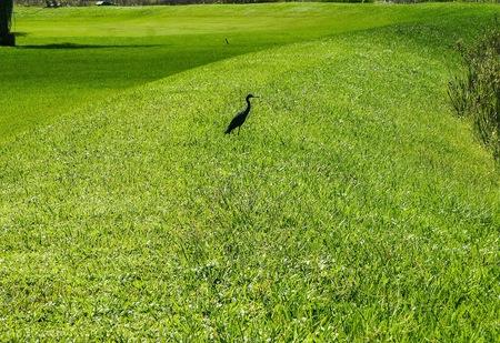small black bird standing in the swamp Reklamní fotografie