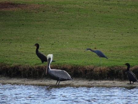 De pelikaan waadt in water terwijl de zwarte aalscholvers in het gras lopen