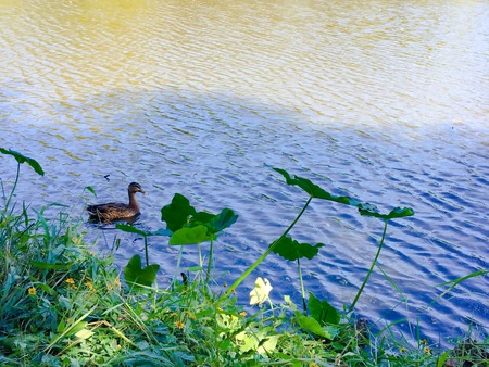 duck swimming in a pond with water lilies on the shore