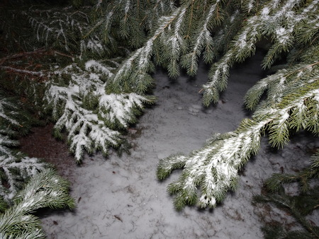 snow falling on pine trees at night in the winter Imagens
