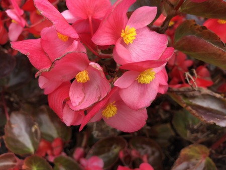 Red shimmery wax begonias shining in the garden.