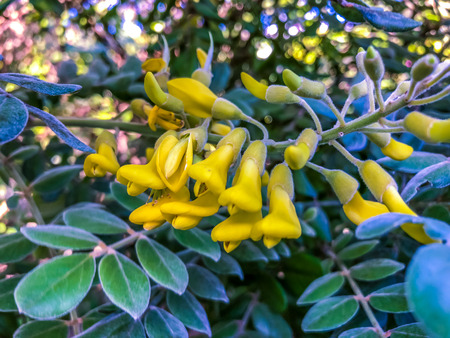 yellow flowers on a necklacepod tree (Sophora Tormentosa)