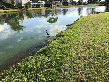 flying blue heron in a green river polluted with algae