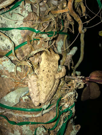 two frog on a palm tree at night in Florida. Cuban Tree-frog (Osteopilus septentrionalis)