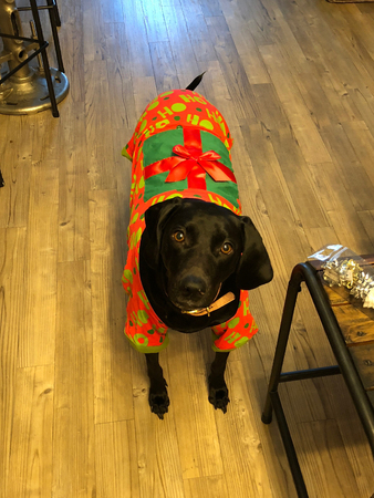 big black dog in a christmas sweater Standard-Bild - 106337520