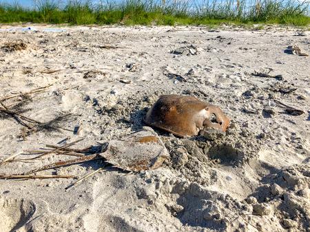 horseshoe crab in the sand on an island in Charleston, South Carolina