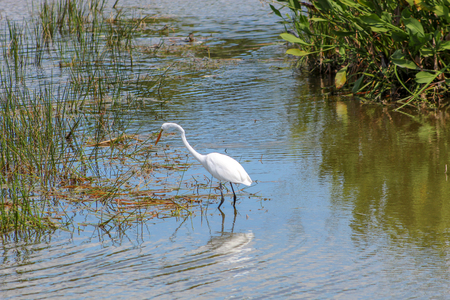 Great egret wading in the swamps of Florida at the Green Cay wetland