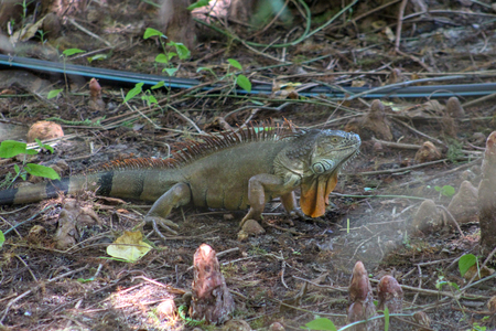 large green iguana in the swamp of Florida in Green Cay wetland